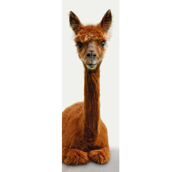 alpaca poster alpaca is watching you. Black Bedroom Furniture Sets. Home Design Ideas