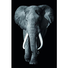 Elefant Poster Kings of Nature