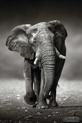 Elefant Poster Wanderung