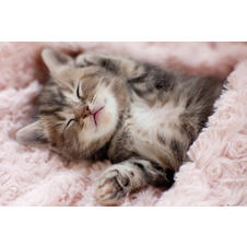 Kitten Sleeping Poster