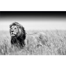 Lion Poster Black & White