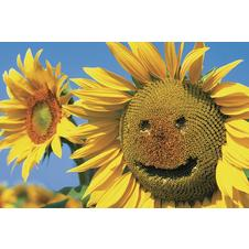 Sunflower Smile Poster