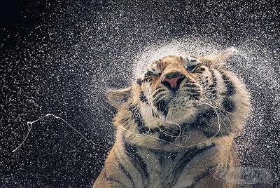 Tiger Poster Kanja