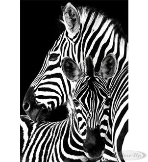 Zebra Poster Mutter & Fohlen