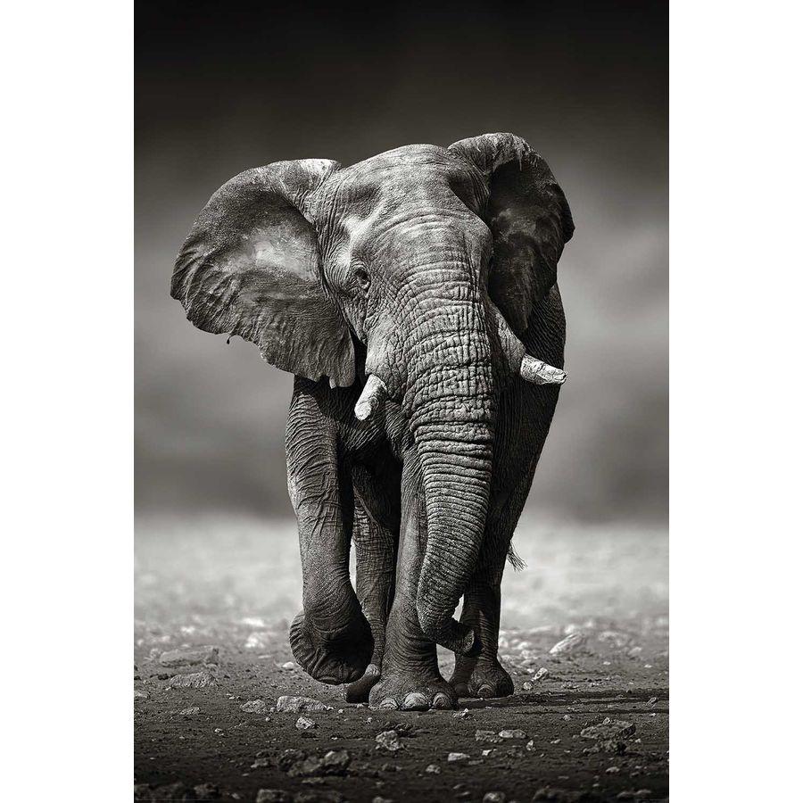 elefant poster wanderung poster gro format jetzt im shop. Black Bedroom Furniture Sets. Home Design Ideas