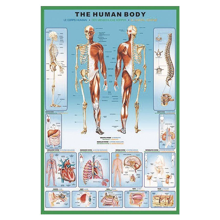 The Human Body Poster Poster Groformat Jetzt Im Shop Bestellen